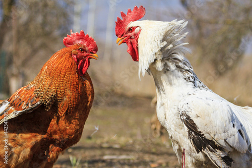 Foto red and white rooster preparing to fight for territory