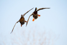 Two Flying Ducks