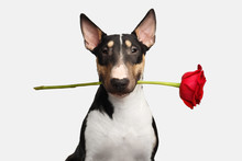 Portrait Of Gentlemen Bull Terrier Dog With Flower In Mouth Looking In Camera On Isolated White Background, Front View