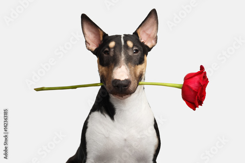 Portrait of Gentlemen Bull Terrier Dog with flower in mouth Looking in camera on Wallpaper Mural