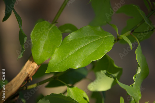 Fényképezés Leaf of Cinnamomum camphora tree