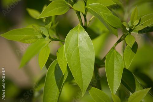 Leaf of Cinnamomum camphora tree Fototapeta