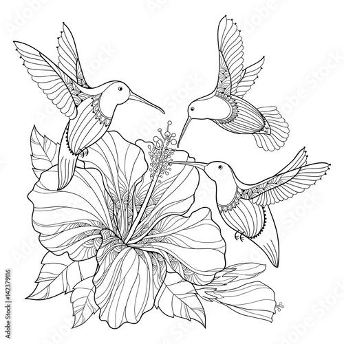 Colibri Hibiscus vector flying hummingbird or colibri and ornate hibiscus in contour