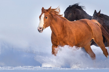 Horses run gallop in snow field against blue sky. Herd run close up