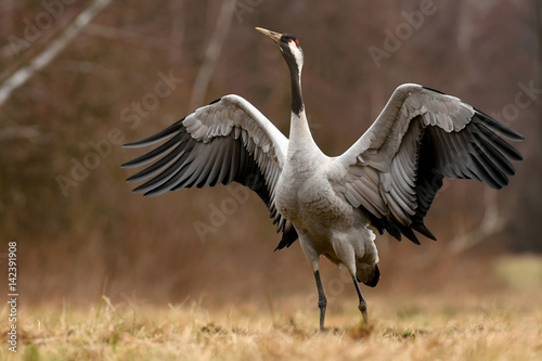Common crane (Grus grus) Wallpaper Mural