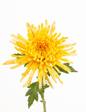 Yellow Spider Chrysanthemum Cl...