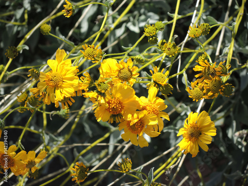 Golden Yellow Brittle Bush Glistens In The Early Spring Sunshine On