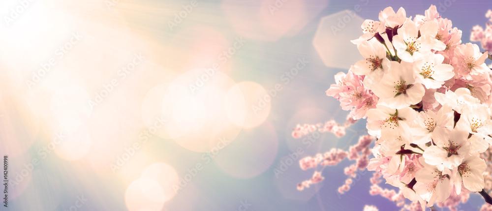 Wiśniowe kwiaty na wiosnę