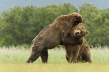 Brown Bear Boars Sparring In Alaska