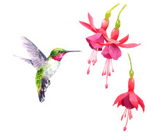 Watercolor Bird Hummingbird Flying Around The Fuchsia Flowers Hand Drawn Summer Garden Illustration Set Isolated On White Background