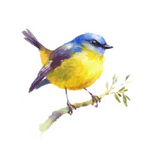Watercolor Bird Yellow Robin On The Branch Hand Drawn Fall Illustration Isolated On White Background