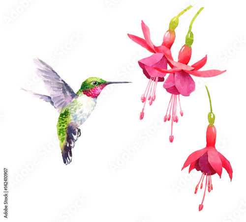 Valokuvatapetti Watercolor Bird Hummingbird Flying Around the Fuchsia Flowers Hand Drawn Summer