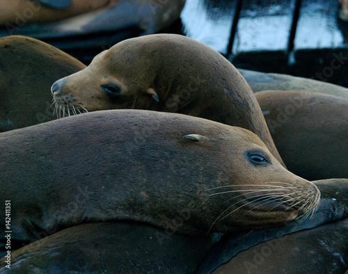 Photo  sea lions, marine mammals, sea lion