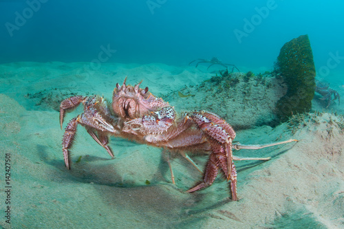 Hairy crab on the seabed