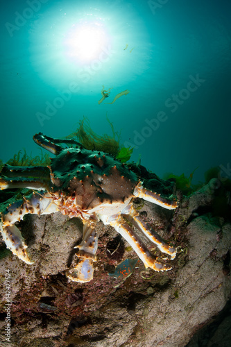 King crab on the rock in the deep sea