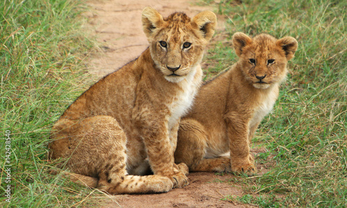 Photo  Lion cubs in the African bush