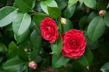 Camellia Japonica Flowers