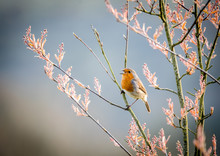 Singing Robin In A Tree