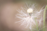 Close up beautiful spring dandelion flowers in the morning sunlight blowing, space for texture, flowers background warm tone. macro concept - 142460528