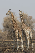 Two Giraffes Standing With Their Backs Turned With Their Heads In The Scorched Savanna