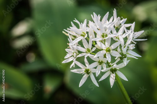 The characteristic white flowers of wild garlic are perfectly edible the characteristic white flowers of wild garlic are perfectly edible and pretty too although mightylinksfo