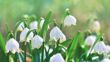 Spring Snowflakes Flowers. ( Leucojum Vernum Carpaticum) Beautiful Blooming Flowers In Forest With Natural Colored Background.