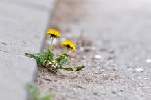 Dandelion Flower Growing Between Asphalt And Curbs. Nature Against Man