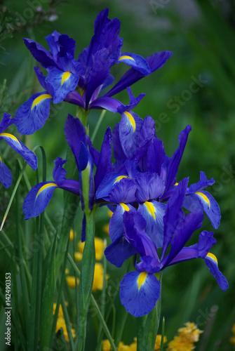 Iris bleu et jaune au printemps au jardin