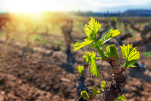 New Grapevines Sprouts Growing In Vineyard.