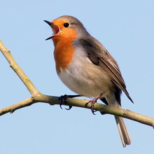 European Robin (Erithacus Rubecula) In Song