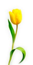 Isolated Tulip