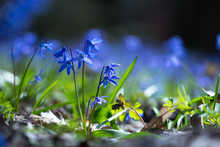Bluebell Flowers Grow