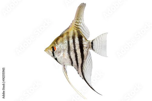Photo zebra angelfish pterophyllum scalare aquarium fish isolated on white