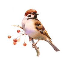 Watercolor Bird Sparrow On The Branch With Berries Hand Drawn Fall Illustration Isolated On White Background