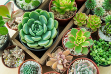 Top View Of Various Of Succulent Plant Pot- Echeveria, Sempervivum,flowering Plants