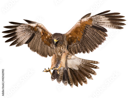 Photo Falcon landing swoop hand draw and paint color on white background illustration
