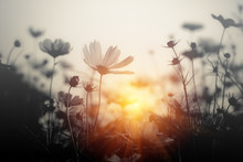 Cosmos Flower At Sunset