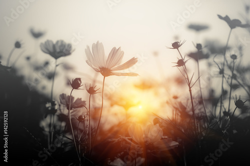 Fototapety, obrazy: Cosmos flower at sunset