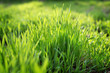 Young spring grass growing from fertilizer