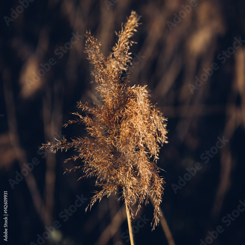 Fotomural Close up shot of dried sedge