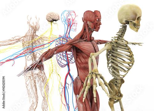 Valokuvatapetti anatomy