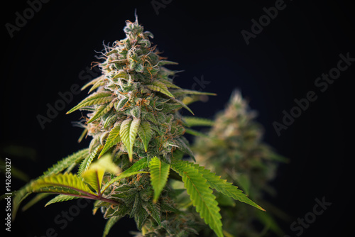 Photo Cannabis cola (Thousand Oaks marijuana strain) with visible hairs and leaves on