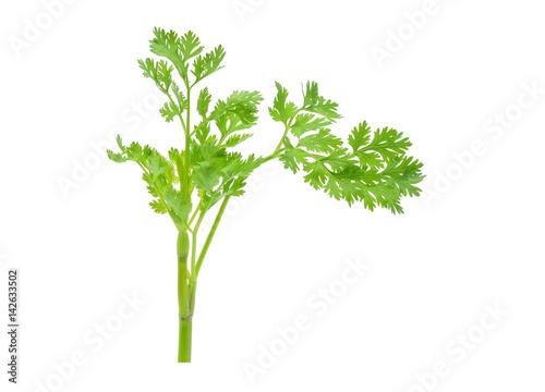 coriander leaf isolated on white background