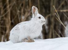White Snowshoe Hare Portrait I...