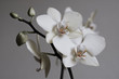 Retro white orchids