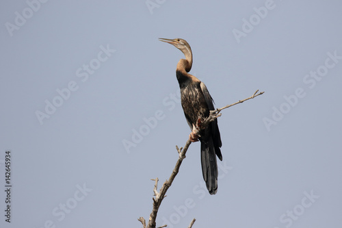 Photo African darter, Anhinga rufa