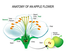 Anatomy Of An Apple Flower