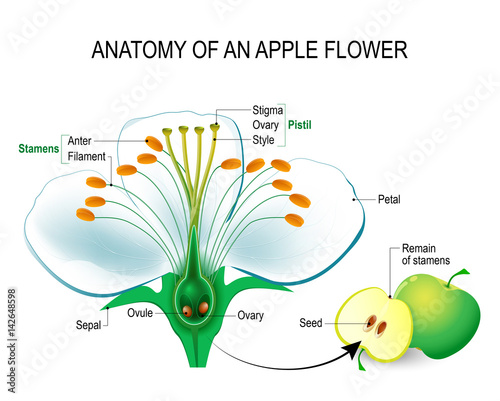 Anatomy of an apple flower Tablou Canvas
