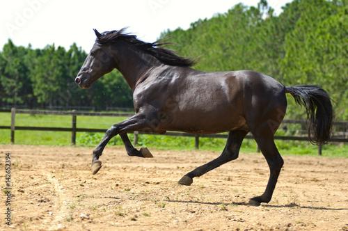 Fotografía  dark brown horse galloping on countryside