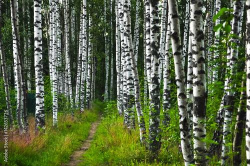 Tuinposter Berkbosje Path in summer birch forest